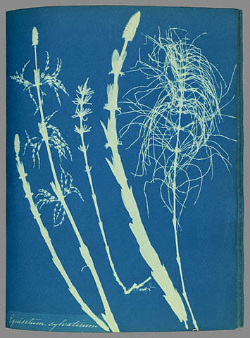 Anna_Atkins_woodhorsetail_cyanotype.jpg