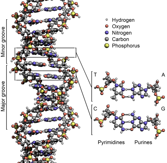 680px-dna_structurekeylabelled-pn_nobb.png